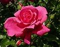 Rosarium Baden Rosa 'Donauprinzessin' Noack 1994 02.jpg