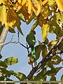 Rose-ringed Parakeet (Psittacula krameri) (15275325183).jpg