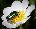 Rose Chafer Cetonia aurata (44075629315).jpg