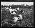 Rose Oquoto, 6 years old, and Flora Oquoto, 7 years old, of Philadelphia. Picking cranberries at Theodore Budd's Bog... - NARA - 523257.tif