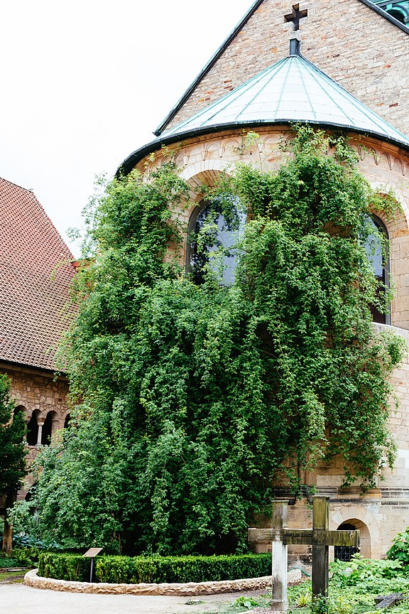 The Rose of Hildesheim climbs on the apse of Hildesheim Cathedral Rosenstock2016.jpg