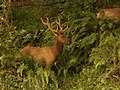 Rosevelt Elk in the Redwood National Park, California.jpg