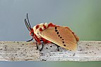 Rosy ermine moth (Trosia nigropunctigera).jpg