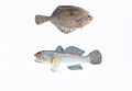 Round goby and a flounder.jpg