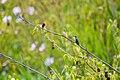 Ruby-throated hummingbird (36123620606).jpg