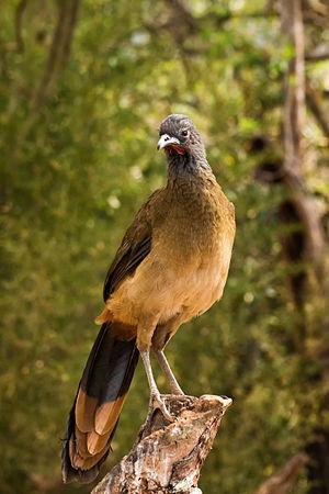 Rufous-vented chachalaca - In Venezuela