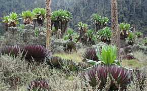 Ruwenzori Vegetation 7.jpg