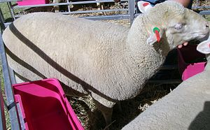 South African Meat Merino - SAMM ewe, Wool Expo, Armidale, NSW