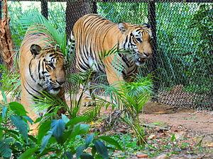 Mysore Zoo - Bengal Tigers