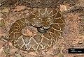 SP Crotalus durissus terrificus.jpg
