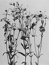 Sabatia dodecandra WFNY-f024.jpg