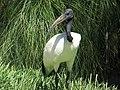 Sacred Ibis - Lagos Zoo - The Algarve, Portugal (1736132116).jpg
