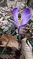 Saffron - Crocus vernus 32.jpg
