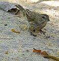 Saffron Finch (Sicalis flaveola) female (30861313774).jpg