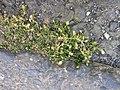 Sagina procumbens plant (15).jpg