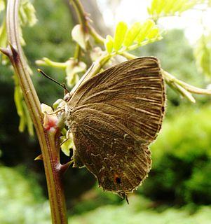 <i>Zinaspa todara</i> species of insect