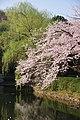 Sakura 2018 7 (252033539).jpeg