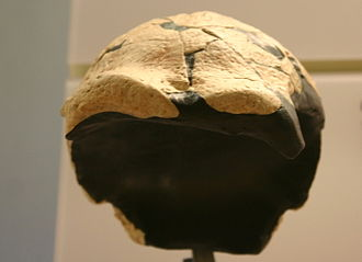 Saldanha man - Saldanha skull, Smithsonian Natural History Museum