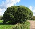 Salix fragilis 'Bullata'.jpg