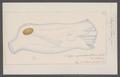 Salpa tilesii - - Print - Iconographia Zoologica - Special Collections University of Amsterdam - UBAINV0274 092 08 0019.tif