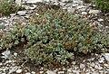 Salvia dorrii var clokeyi 2.jpg
