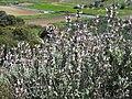 Salvia fruticosa 2 RF.jpg