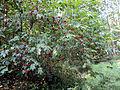 Sambucus racemosa Podkomorské lesy.JPG