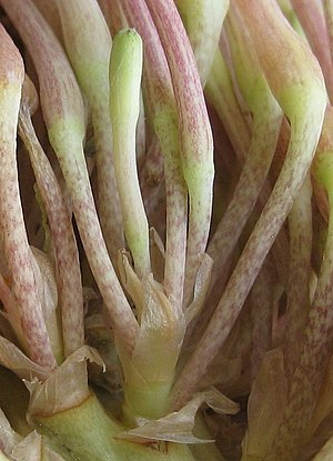 Fascicle (botany) - Details of fasciculation of florets in an inflorescence of a Sansevieria species