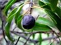 Santalum freycinetianum (5210113728).jpg