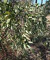 Santalum lanceolatum foliage.jpg