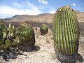 Santuario de Cactáceas Gigantes en Tierra Blanca,Guanajuato.jpg
