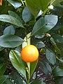 Sapindales - Citrus sinensis - 11.jpg