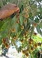 Sapindus saponaria-fruits-1.jpg