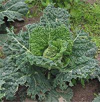 Savooiekool Vroege Groene spitskool Brassica oleracea.jpg