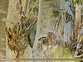 Scaly-bellied Woodpecker (Picus squamatus) (32087874556).jpg