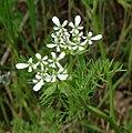 Scandix pecten-veneris flowers.jpg