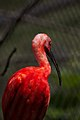 Scarlet Ibis - Flickr - p a h.jpg