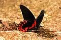 Scarlet Mormon Butterfly (Papilio rumanzovia).jpg