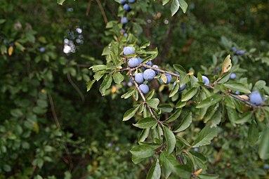 Schlehdorn (Prunus spinosa) Nationalpark Donau-Auen Orth an der Donau 2012 a.jpg