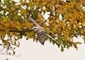 Scissor-tailed Flycatcher, 600 block of S. Lakeshore Dr., Ludington, MI, 16 October 2014 (15366029639).jpg