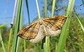 Scotopteryx chenopodiata Пяденица линейчатая желто-бурая на траве.jpg