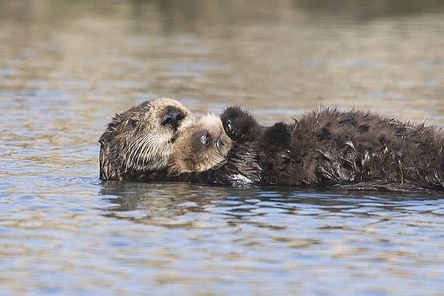 Vettoriale leone marino cucciolo di foca personaggio simpatico