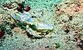 Sea Slug (Ardeadoris egretta) (6127280099).jpg