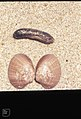 Sea cucumber and bivalve. Zahara. North of Tarifa. Andalusia. 1975 (37725028802).jpg