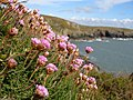 Sea thrift at St Non's Bay - geograph.org.uk - 780772.jpg