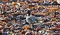 Seashore Birds IMG 0586 (32340715863).jpg