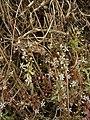 Sedum cepaea inflorescence (03).jpg