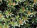 Sedum kamtschaticum a2.jpg