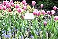 Sejmowe tulipany. Tulipany Lecha i Marii Kaczyńskich (1).jpg