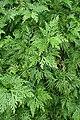 Selaginella pallescens kz06.jpg